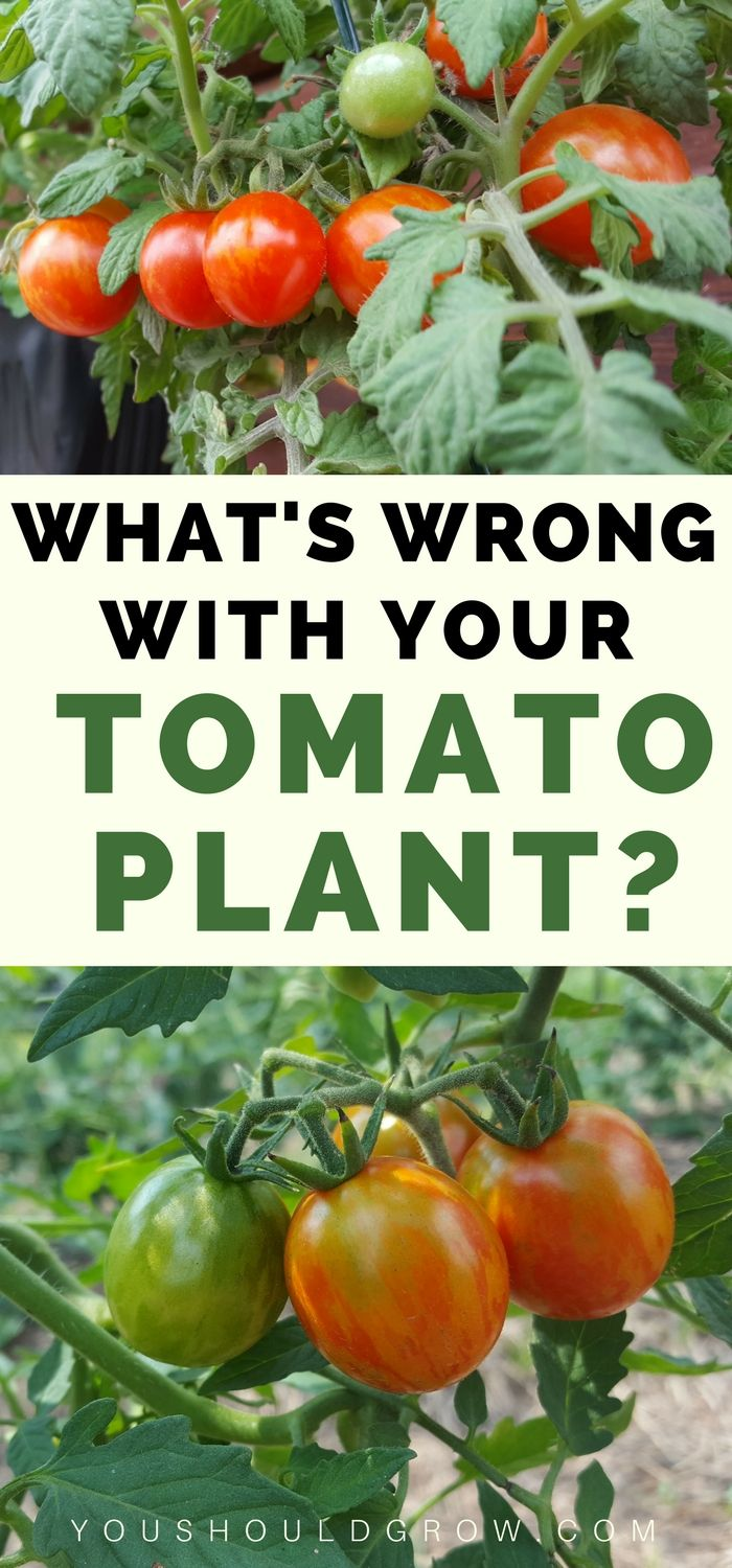 Growing tomatoes and tomato problems? Wondering why your tomato's leaves are yellow, spotty, or wilted? Homegrown tomatoes can suffer from a variety of pest and disease issues. Use this guide to tomato leaf problems to figure out what's wrong and what you can do about it. via @youshouldgrow