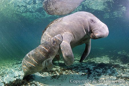 Florida Manatee Mother and Calf: Gentle Giant, Florida Manatees, Florida S Manatees, Manatees Florida, Favorite Animal, Manatees Mother, Place, Manatee Mother