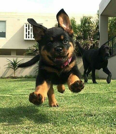 ROTTWEILER....goes back to the Roman Empire....nearly became extinct in the late 1800s, but was revived due to increased demand for police dogs in World War I....measures 22-27 inches tall and weigh 85-130 pounds....must be properly trained and socialized....needs plenty of exercise....can become overheated in hot weather