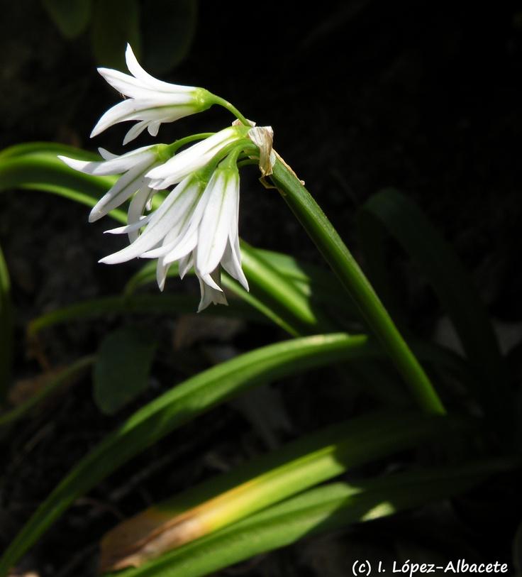 Allium triquetum (lágrimas de la virgen). Planta bulbosa de la familia de las Amarilidáceas. Pertenece a los denominados ajos silvestres(género Allium). Sus flores pendulas en forma de campana son blancas con un nervio medio ancho y verde en su cara interna muy característico. Crece en lugares más o menos húmedos y sombríos como linderos de bosque, taludes orientados al norte, ribera de arroyos, etc.