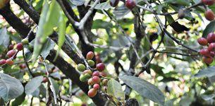 La ceremonia del café etíope