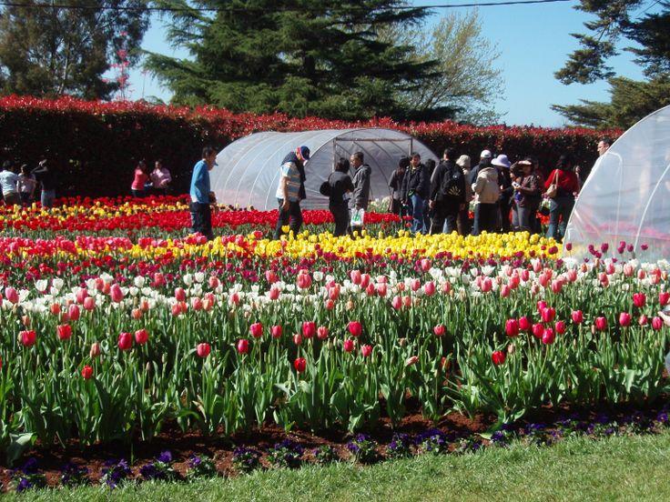 Tesselaar Tulip Festival Silvan, Victoria, Australia