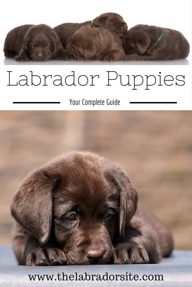 A complete guide to Labrador puppies. Including the best way to buy, how to feed and potty train your puppy. We answer your questions on growth, weight, biting, health and more!