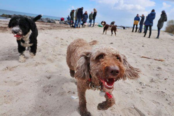 Spanischer Wasserhund Perro De Agua Espanol Perro Nord Spanische Wasserhund Welpen In 2020 Spanischer Wasserhund Spanisch Hunde