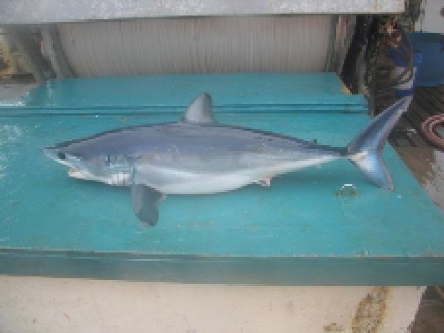 Types of Sharks: Shortfin Mako Shark (Isurus oxyrinchus)
