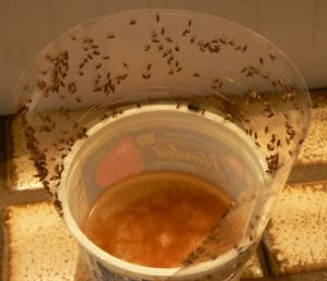 The BEST fruit fly trap - wine or apple cider vinegar and tape/fly paper