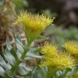 Rhodiola is a small plant that is mostly found in the cold regions especially in Russia. This herb is originated from Russia and people there treat it as their native medicine.