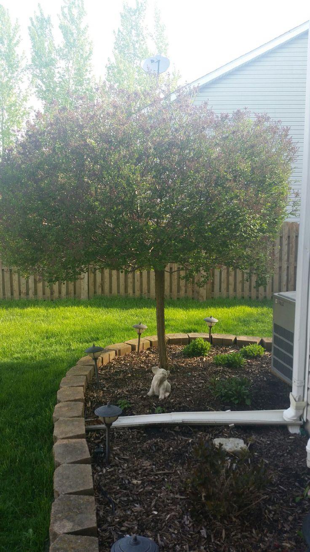 Dwarf lilac tree front yard pinterest dwarf lilac for Best dwarf trees for front yard