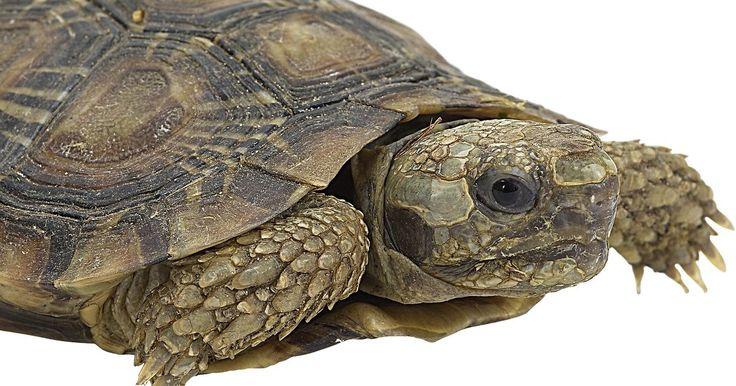 """Características de las tortugas de agua dulce. Los términos """"tortuga"""" y """"tortuga de agua dulce"""" a veces se usan como si fueran lo mismo, pero en realidad se refieren a dos tipos diferentes de animales. Tanto las tortugas como las tortugas de agua dulce tienen caparazones, escamas, son de sangre fría, ponen huevos y pertenecen al orden taxonómico Chelonia. Si bien ambas son muy similares, las ..."""