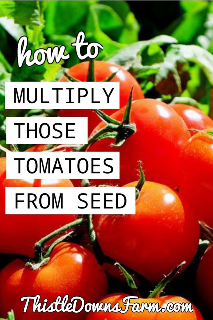 How To Multiply Your Old Tomatoes Into A Ton Of New Seedlings In 2020 Tomato Plants Tomato Seedlings Vegetable Garden Tips