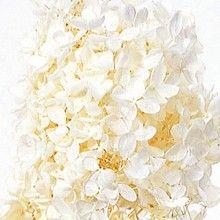 Preserved Pee Gee Hydrangea Off White