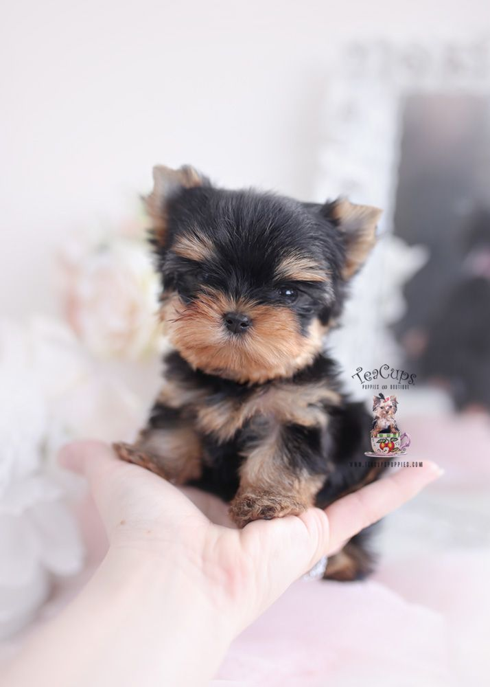 Tiny Teacup Yorkie Puppy For Sale Teacup Puppies 090 A In 2020