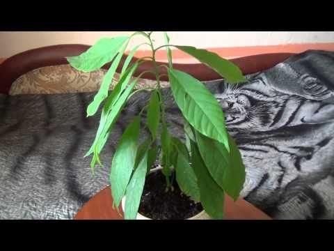 Как вырастить авокадо дома. (1 часть) - YouTube