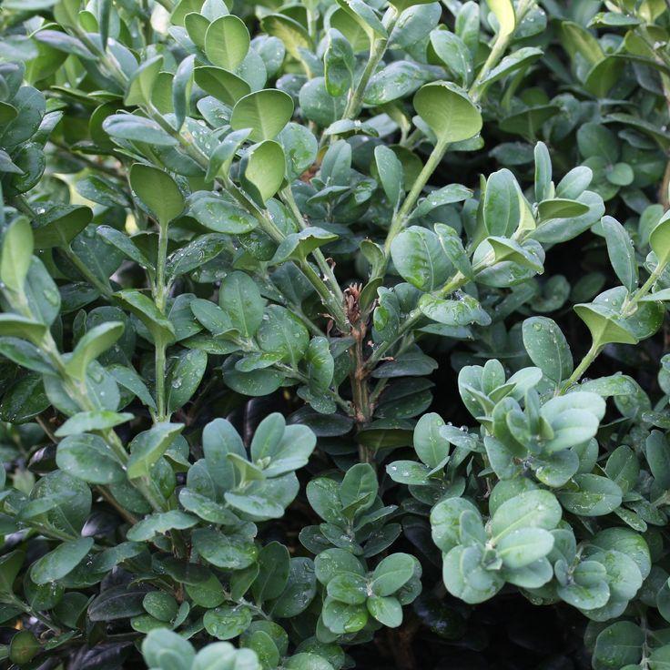 Buxus sempervirens Bullata