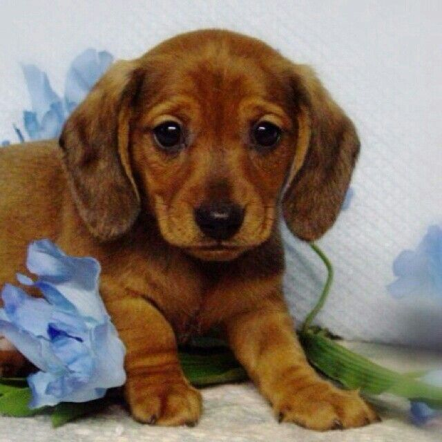Pin by Linda A on Fur Cuties Dachshund puppies, Daschund