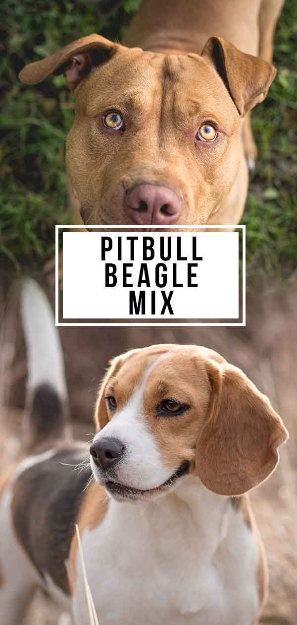 Pitbull Beagle Mix Is This Cross Right For You Beagle Mix Beagle Mix Puppies Pitbulls