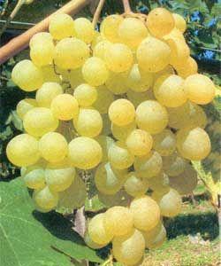 Vitis vinifera 'Frumoasa Alba' ® - Gelbe Tafeltraube (kernarm)