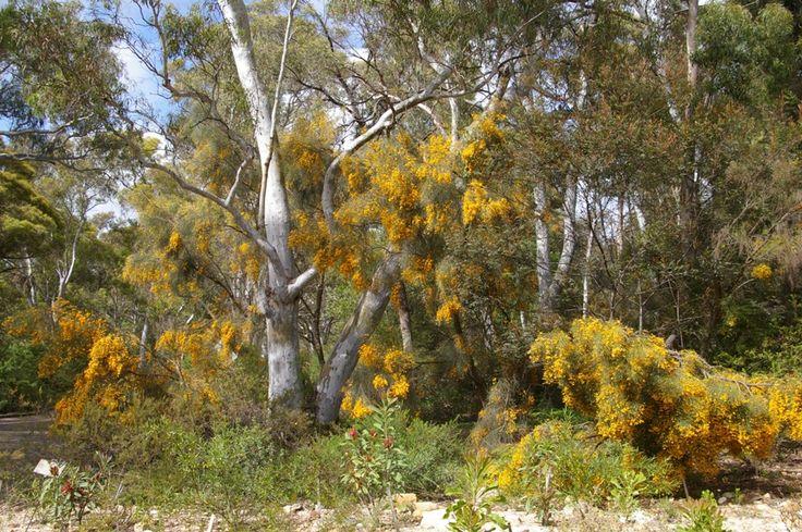 Jacksonia scoparia (Dogwood) (Brisbane-Dry Eucalypt Forest)