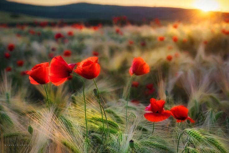 The red field, автор — Miguel Zaballa на 500px.com