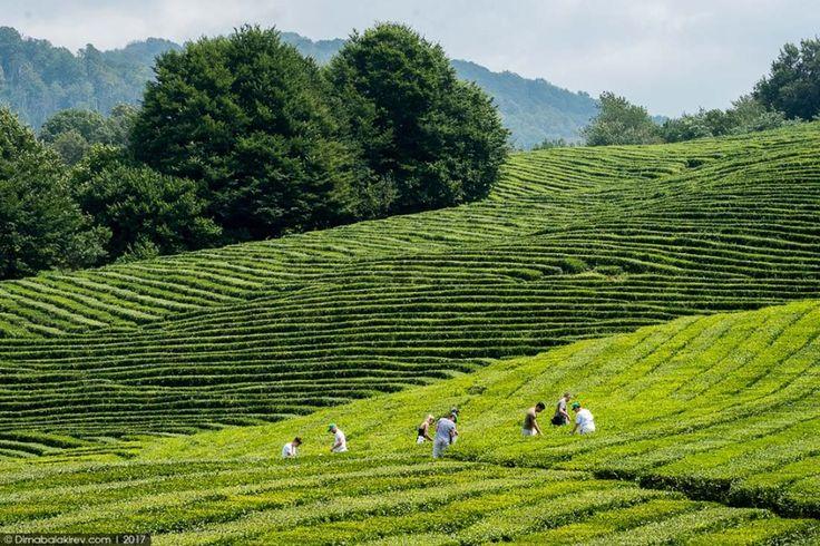 Чайные плантации в Сочи « FotoRelax | Природа, Фотографии ...