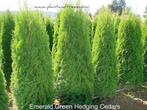 Emerald Green Cedars Hedging Cedars Thuja occ 'Smaragd' cedar
