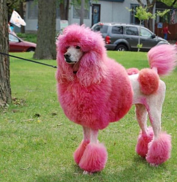 Pin By Shelly Fearno Waterman On Pink Pink Poodle Dog Grooming