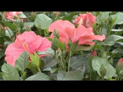 les 25 meilleures id es concernant fleurs color es sur pinterest plantes violettes. Black Bedroom Furniture Sets. Home Design Ideas