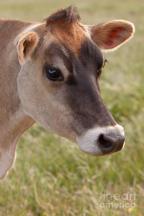 Beautiful jersey cow portrait Photography Fine Art Prints, framed and canvas prints by Michelle Wrighton http://michellwrighton.com