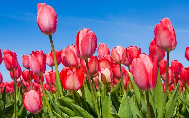 Ultra HD pink tulips garden Ultra HD Flowers Wallpapers