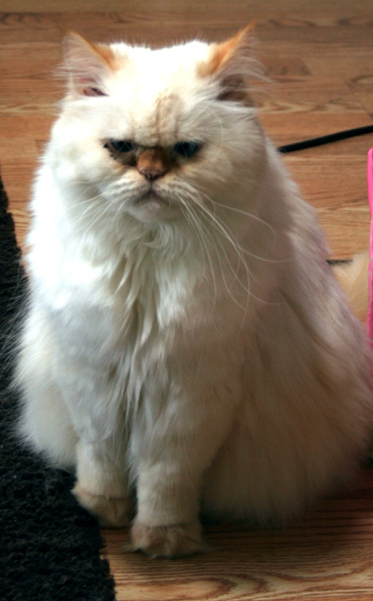 Is my cat persian or himalayan