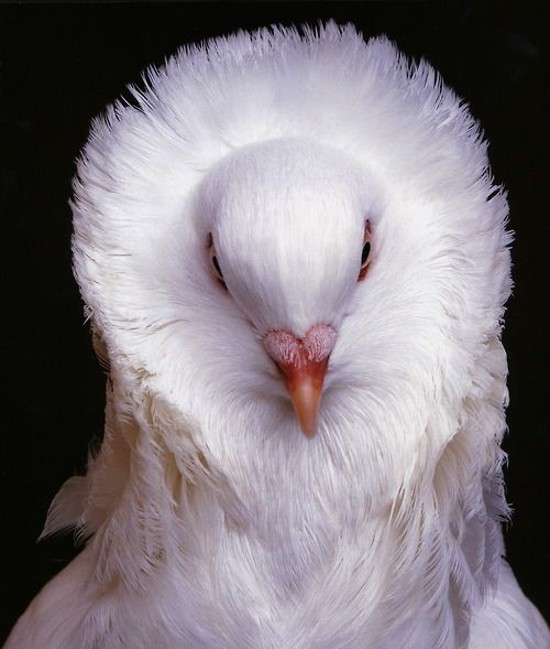 """""""Old Dutch Capuchine - White"""" - from the book Extraordinary Pigeons by Stephen Green-Armytage"""