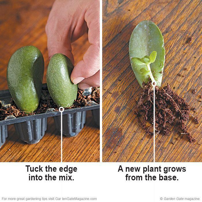 Suculentas gratis!  El enraizamiento suculentas es sencillo con estos consejos útiles.  jade planta: