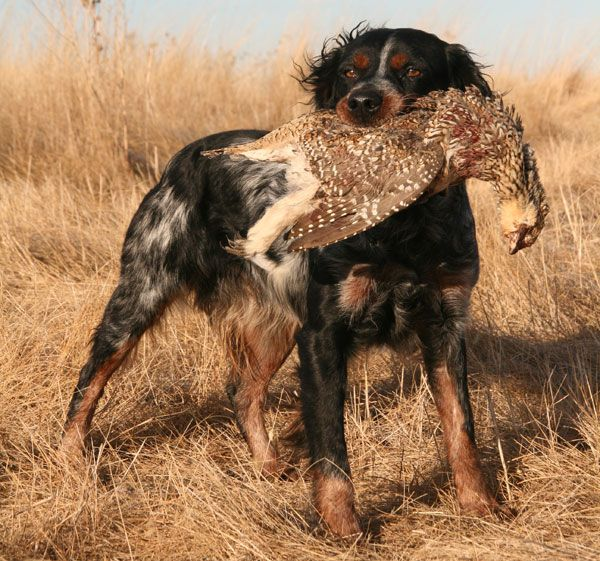 french brittany dog photo | Breed Profile: The French Brittany - Gun Dog Magazine