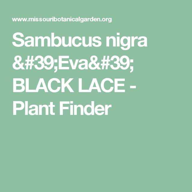 Sambucus nigra 'Eva' BLACK LACE  - Plant Finder