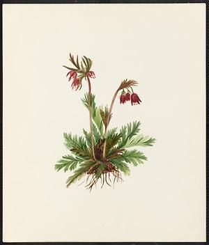 From the collection at Andersen Horticultural Library. Emma Roberts (1859-1948), a watercolorist from Minneapolis, founded the Handicraft Guild, and was supervisor of drawing for Minneapolis Public Schools. Emma painted Geum triflorum (Three-flowered Geum) in Minneapolis. It is dated May 22, 1883.