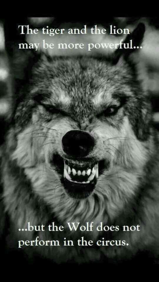 The Tiger and the Lion may be powerfull...... but the wolf not perform in the circus #burn