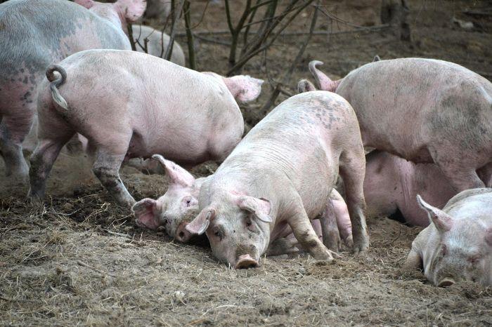 Vaahteramäen tilalla Somerolla siat pääsevät ulos.  Sian täytyy saada tonkia, pureskella ja tehdä pesä. Tonkiminen ja pureskelu ovat sian aivoihin ohjelmoituneita käyttäytymistarpeita.