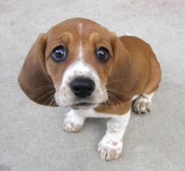 """Sugar is an adoptable Basset Hound Dog in Kalamazoo, MI. Who can resist this face? The expression, """"Big, puppy dog eyes"""" must have come from someone looking at Sugar's picture because she has this lo..."""