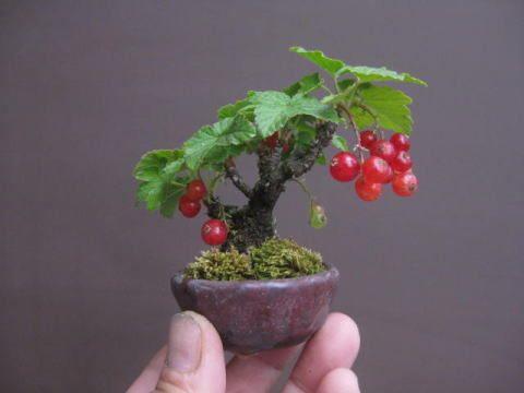盆栽:スグリが赤く色づく|春嘉の盆栽工房. Bonsai: currant is red and turns red and yellow | bonsai workshop HaruYoshimi.