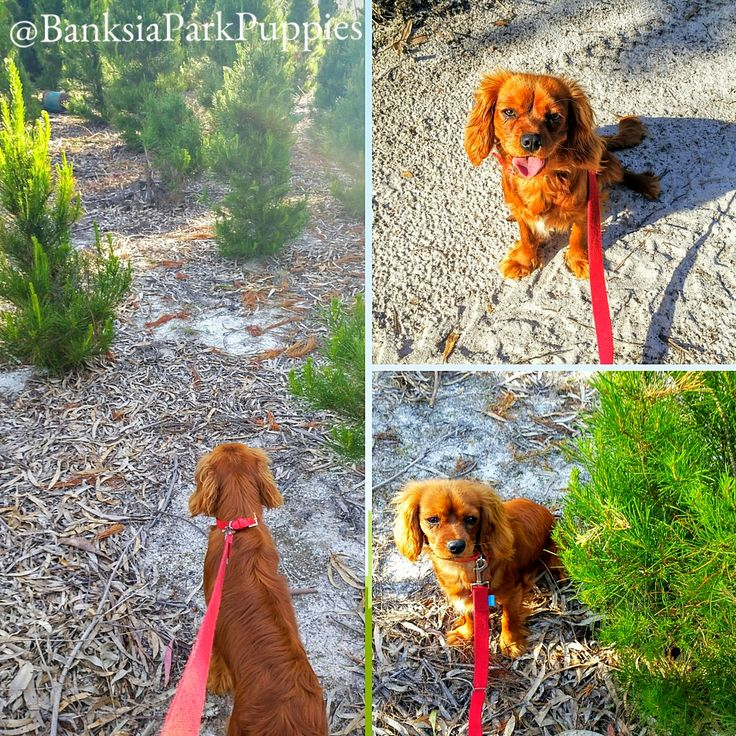 Sheila went on an excursion to find the perfect Christmas tree at Banksia Park, Stradbroke! 🎄🐾