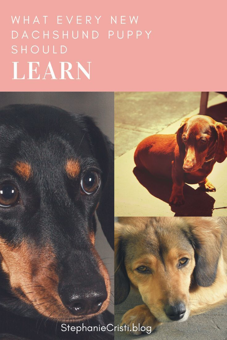 15 Glorious Diverse Dachshund Breed Tips And Ideas Amazing Dogs