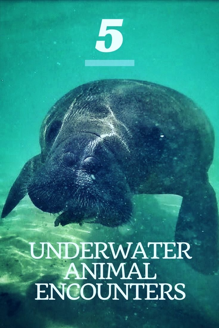 Manatees, stingrays, sea turtles and sharks. Underwater animal encounters -- a list of favorites from past work travels.