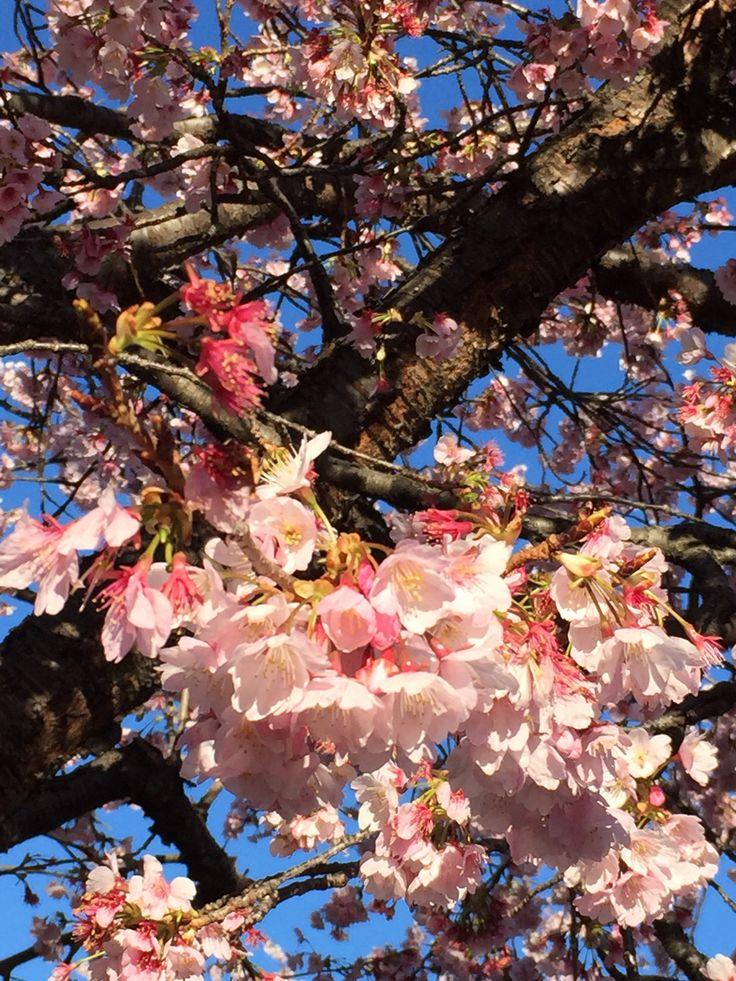 Japan  熱海海岸の早咲き桜