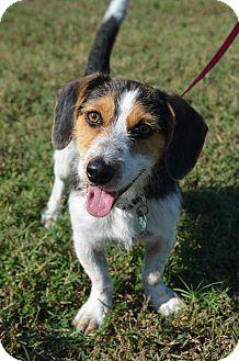 Westport, CT - LITTLE PINK SHELTER - Basset Hound/Terrier (Unknown Type, Small) Mix. Meet COME MEET Fletcher, a dog for adoption. http://www.adoptapet.com/pet/16908576-westport-connecticut-basset-hound-mix