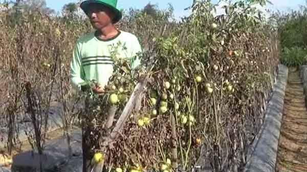 Dampak Cuaca Extreme Tanaman Tomat Mengering, Petani Merugi Hingga Puluhan Juta Rupiah