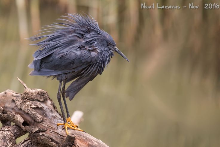 Black Heron - This lovey bird is an umbrella hunter -- it holds its wings over his head, causing a shadow on the water -- Fish are attracted to the shadow -- and then he strikes...