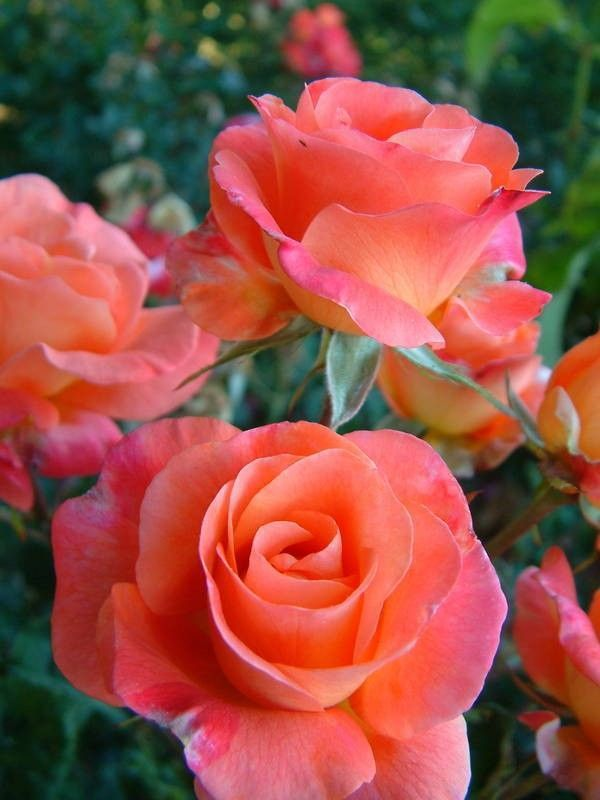 """""""Bonfire Night"""" ~ Floribunda rose bred by McGredy, 1965. Blooms in flushes throughout the season with a mild fragrance."""