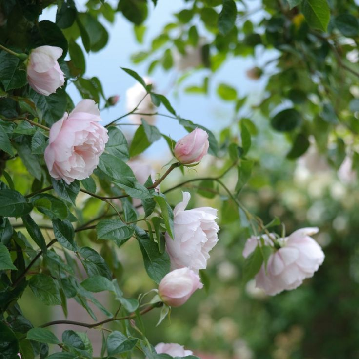 C4 Rosa 'The Generous Gardener' climber to 10 ft, fully double scented blooms, good disease resistance, good repeat flowering