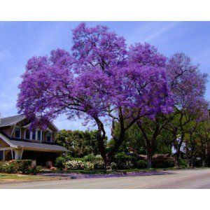 Royal Empress Tree (fastest growing tree), zones 5-8 	Royal Empress  	(Paulownia tomentosa)  	The Royal Empress tree is a one of the fastest growing trees. It can grow 14 to 17 feet in 4 to 5 years and as much as 8 to 15 feet in a single year. The Royal Empress tree can reach heights of 30 to 40 feet. Trees over