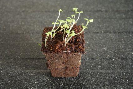 Uitplanten met heel bakje